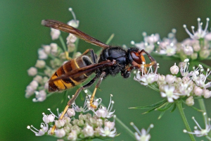 Asian Hornet Identified In Lancashire