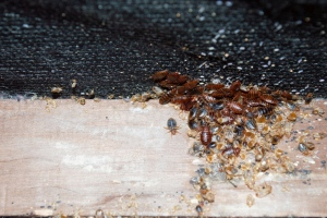 Tips For Controlling Bed Bugs Infestation
